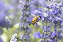 Макрос пчелы с свежими цветками Стоковые Фото