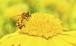 Макрос пчелы с свежими цветками Стоковое фото RF