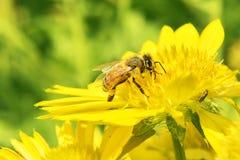 Макрос пчелы с свежими цветками Стоковое Изображение RF