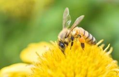 Макрос пчелы с свежими цветками Стоковые Изображения RF