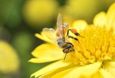 Макрос пчелы с свежими цветками Стоковое Фото