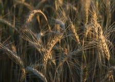 Макрос пшеничного поля стоковая фотография