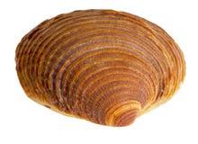 Макрос раковины моря Стоковая Фотография