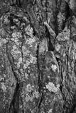 Макрос расшивы дерева в черно-белом создает конспект Стоковые Изображения RF