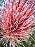 Макрос розового цветка banksia швырка Стоковые Изображения