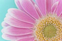 Макрос розового Gerbera Стоковое Фото