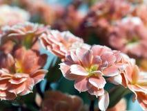 МАКРОС: Розовые/оранжевые цветки Стоковые Фото