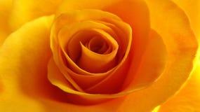 Макрос розы оранжевого желтого цвета Стоковое Изображение