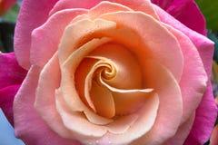 Макрос роз Стоковое Фото