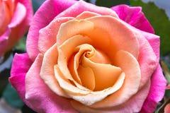 Макрос роз Стоковые Изображения RF
