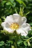 Макрос свежего молодого белого цветка одичалого кавказского розового бедра стоковые фото