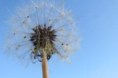 макрос света одуванчика предпосылки над семенами фото Стоковые Фотографии RF