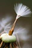 Макрос семени одуванчика Стоковое Изображение