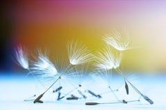 Макрос семян цветка одуванчика Стоковая Фотография