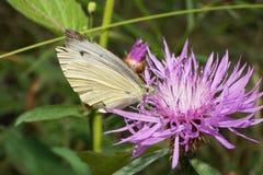 Макрос сидя на бабочке cornflower цветка ягнится белянка Ar стоковое изображение