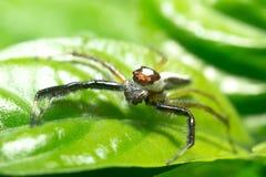 Макрос скача паука Стоковые Изображения RF