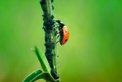 Макрос славное Bokeh Ladybug близкий поднимающий вверх Стоковые Изображения RF