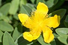 Макрос снимая желтые цветки Стоковые Изображения