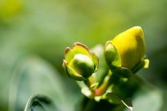 Макрос снимая желтые цветки Стоковое Изображение