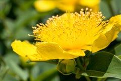 Макрос снимая желтые цветки Стоковое фото RF