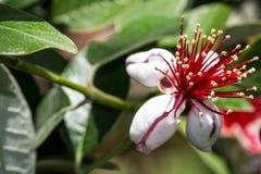 Макрос снимая красные и белые цветки Стоковая Фотография RF