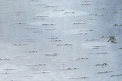 Макрос снял текстуры коры березы стоковая фотография rf