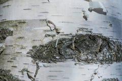 Макрос снял текстуры коры березы стоковая фотография