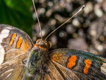Макрос снятый бабочки конского каштана Стоковое Изображение RF