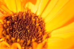 Макрос снятый желтого цветка Стоковые Фото