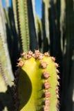 Макрос снятый кактуса Стоковое Изображение