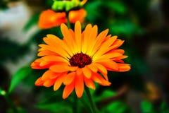 Макрос снятый красивого оранжевого цветка Calendula с зеленой предпосылкой стоковое изображение