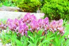 Макрос снятый крошечных пурпурных цветков стоковое фото