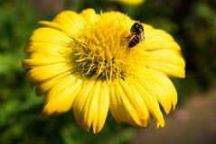 Макрос снятый пчелы собирая цветень от мексиканского цветка маргаритки Стоковое фото RF