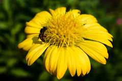 Макрос снятый пчелы собирая цветень от мексиканской предпосылки цветка маргаритки Стоковые Фотографии RF