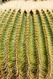 Макрос снятый терниев кактуса золотого бочонка Стоковое фото RF