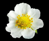 Макрос снятый цветка клубники на черноте Стоковые Изображения RF