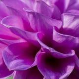 Макрос снятый цветков - георгин стоковые фото