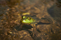 Макрос снятый лягушки в воде Стоковые Фото