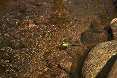 Макрос снятый лягушки в воде Стоковое Изображение
