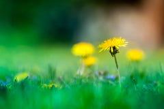 Макрос снятый ярко желтых цветков одуванчика Стоковое Изображение