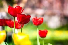 Макрос снятый ярко желтых цветков одуванчика Стоковое Фото