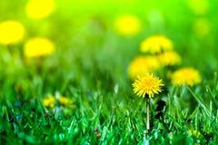 Макрос снятый ярко желтых цветков одуванчика Стоковые Фотографии RF