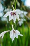 Макрос снял белого абиссинского цветеня гладиолуса, acidanthera стоковое изображение rf