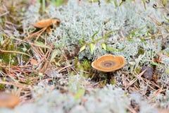 Макрос снял гриба в белом мхе северного оленя Стоковые Фотографии RF