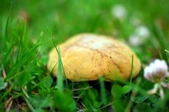 Макрос снял желтого гриба в траве Стоковая Фотография RF