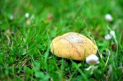 Макрос снял желтого гриба в траве Стоковые Изображения RF