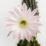 Макрос снял красивого света - розового зацветая цветка кактуса на белизне Стоковые Фото