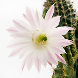 Макрос снял красивого света - розового зацветая цветка кактуса на белизне Стоковое фото RF