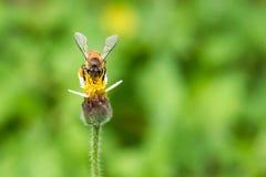 Макрос снял пчелы всасывая сладостный нектар от мексиканской маргаритки Стоковая Фотография RF