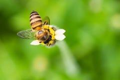 Макрос снял пчелы всасывая сладостный нектар от мексиканской маргаритки Стоковая Фотография